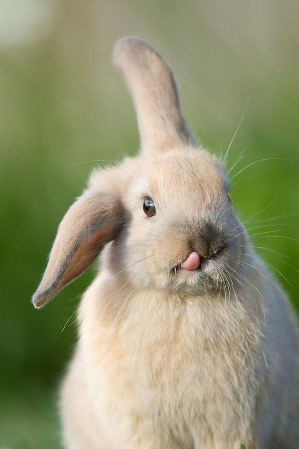 photos-mignonnes-lapin-langue-sortie